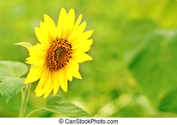 tournesol, pleinement, brouillé, blossomed, fond, petit, fleurs