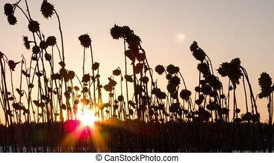 tournesol, stalks., défaillance, derrière, coucher soleil, temps