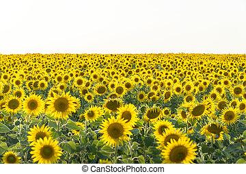 tournesols, presque, jaune, blanc, lumière, contre, champ, ciel, fleurs