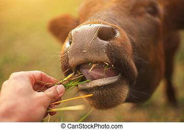 touro, comer, a, grass.