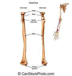 tout, anatomy., nom, dos, sites., os, humain, radial, devant...