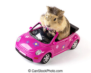 tovig, driver., guinea gris, in, den, rolig, rosa, bil., inte, isolerat, avbild