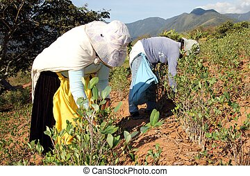 Tow women harvesting Coca leaves in Bolivia, South America