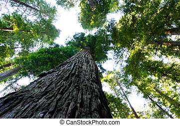 View of towering California redwood trees looking up through leaves