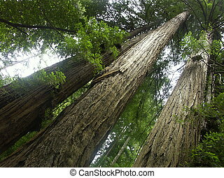 A trio of towering redwoods from Cowell State park in Northern California