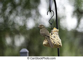 Towhee On A Bird Feeder