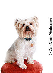 toy breed dog - adorable small dog sitting up for a...