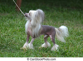Toy Chinese Crested Dog On a Leash