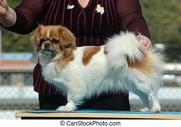 toy dog - Handler positions her dog for judging