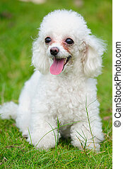 Toy poodle dog - A little toy poodle dog standing on the ...