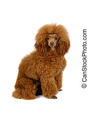 Toy Poodle dog on a white background - Red Toy Poodle dog ...