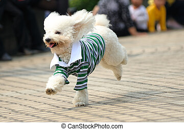 Toy poodle dog running - Little toy poodle dog running on...