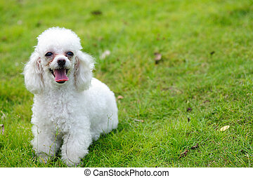 Toy poodle dog - A little toy poodle dog standing on the...