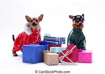 Toy terrier and chihuahua with gift boxes.