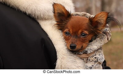 toy-terrier hiding from the cold