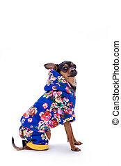 Toy terrier in modern winter costume.