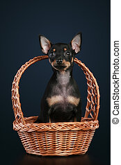 Toy terrier in wattled basket