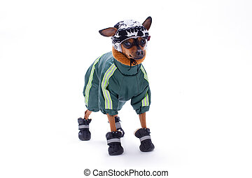 Toy terrier in winter sport clothes.