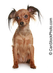 Toy terrier isolated on white background