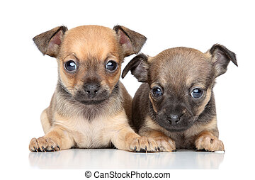 Toy Terrier puppies on a white background