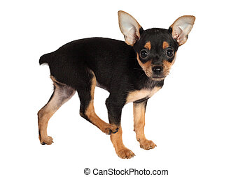Toy-terrier puppy isolated on white background