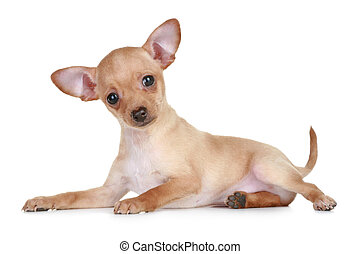 Toy terrier tiny puppy lying on white background