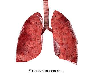 tráquea, humano, pulmones