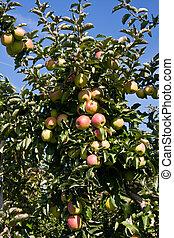 träd, äpple