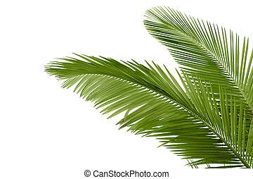 träd, bladen, palm