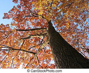 träd, ek, gammal, falla