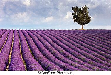 träd, ensam, lavenderfält