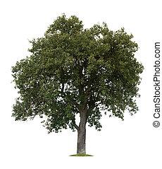 träd, isolerat, äpple