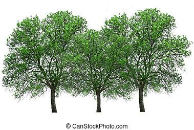 träd, isolerat, över, vit