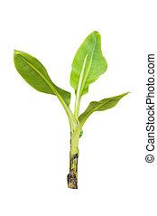 träd, isolerat, banan, ung
