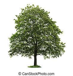 träd, isolerat, lönn, mogna