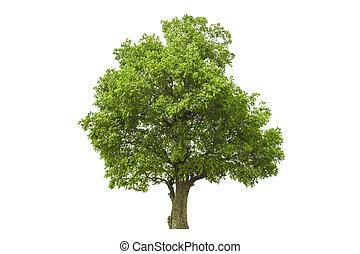 träd, isolerat, med, vit fond