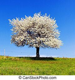 träd, singel, blomstrande, spring.