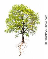 träd, vit, rot