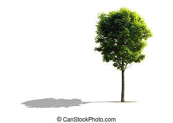 træ, ahorn