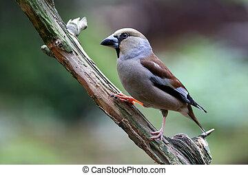 træ, fugl, hawfinch, siddende