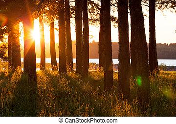 træ, silhuetter, og, længe, hø, ind, gylden, jævne sol, lys