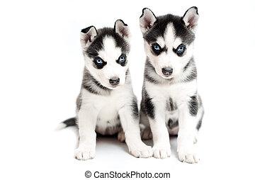 très, jeune, fond, husky, chiots, blanc
