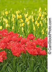 très, peu profond, rouges, tulipes, foyer