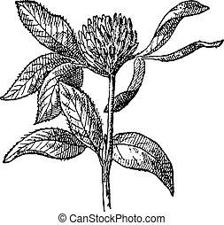 trébol, vendimia, trifolium, pratense, o, rojo, engraving.