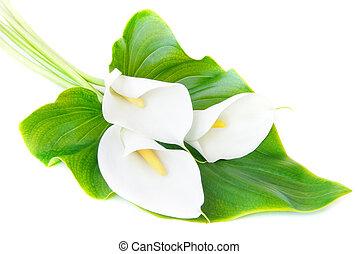três, branca, lírios calla, buquet, com, folha verde,...