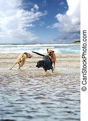 três, cachorros, tocando, felizmente, água