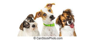 três, cute, cachorros, inclinando, cabeças, esperando...