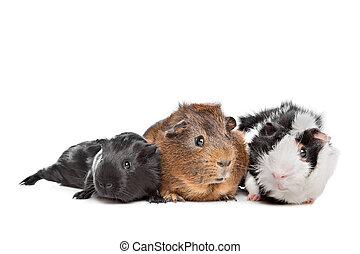 três, porcos guinea