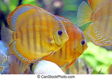 trópico, pez, el nadar bajo el agua, cicatrizarse