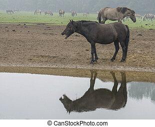 tr, der, wildpferd, sich, spiegelt